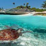 Extraordinaria anidacion de tortugas  marinas en Akumal