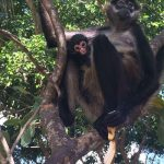 Rescatan población de mono araña en Playa del Carmen
