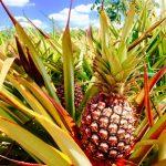 Chuhuk Piña, el pueblito temático de Bacalar en honor a la deliciosa fruta
