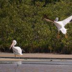 Llegan pelícanos blancos americanos a Cozumel que no se veían desde hace 15 años
