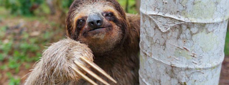 'Pote', la nueva especie de oso perezoso gigante